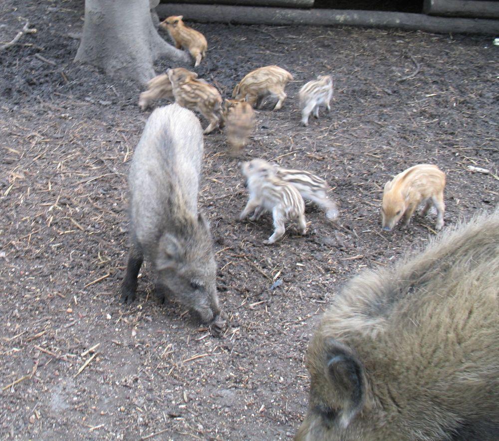 Schwein4