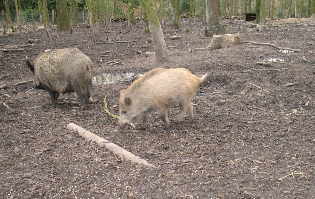 Schwein5