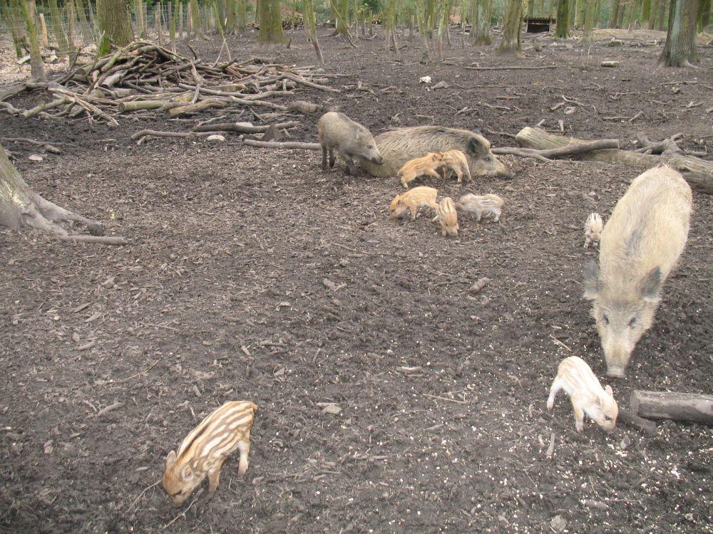 Schwein6